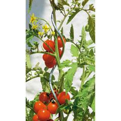 Tomaten-Spiralstab